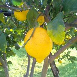 13_limoni_campagna_nova siri_c