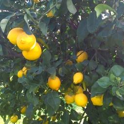 16_limoni_campagna_nova siri_f